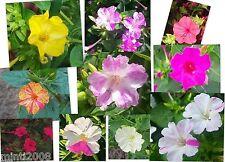 Japanische Wunderblume Mirabilis jalapa Vieruhrblume bunte Mischung ca. 50 Samen
