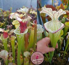 78) Pack of Sarracenia seeds 2020/2021, carnivorous plants rare
