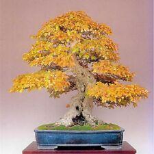 40 pcs Yellow Acer Maple Bonsai Tree seeds