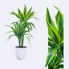 Dracaena fr. Der. Lemon Lime,Dragon tree,Dragon lily 70cm House plant
