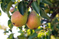 Clapp's Favourite Pear Tree 4-5ft Tall, Juicy Dessert Pear With Sweet Flavour