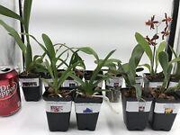 Orchids - 5+ Live Plants(Cattleya, Oncidium,Dendrobium,Vanda,Phalaenopsis)