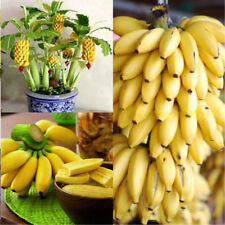 100Pcs Rare Dwarf Banana Tree Seeds Mini Bonsai Seed Exotic Yard Garden Plant