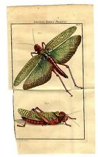 1747 ROESEL HC ENGRAVING 01/005 superb locusts - LIFE-SIZED