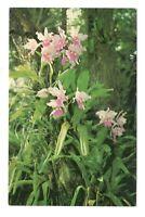 Cattleya Gigas Orchid Jungle Miami Florida Vintage Postcard EB64