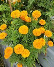 Rare MARIGOLD Flower Seeds 100+ Orange Garden Smelly Beautiful Attractive flower
