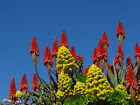 Succulent Aloe arborescens hybrid- drought tolerant, landscaping - 20 cuttings