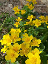 SUMPFDOTTERBLUME 30 Samen Caltha Palustris