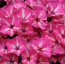 Phlox-Grammy Rosa & Blanco - 10 Semillas