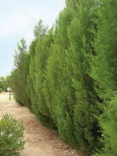 Cypress Pine (Callitris Roei) 30 Seeds