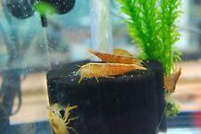 (3) Bamboo Flower Shrimp - Wood Shrimp - Freshwater Filter Feeder Invertebrate