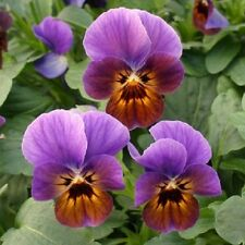50 Viola Seeds Viola Angel Blueberry Glow