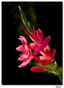 SCHIZOSTYLIS OREGAN SUNSET KAFFIR LILY WINTER FLOWERING GARDEN PERENNIAL