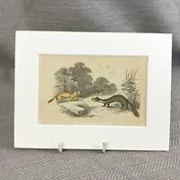 1853 Ermellino Pino Marten Wild Animali Antico Originale Stampa