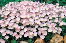 Pink Primrose Seeds, Evening Primrose, Heirloom Flower, Non-Gmo Perennial 100ct