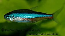 "(30) .5-1"" Green Neon Tetra WILD Paracheirodon simulans Live Freshwater Tropical"