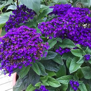Vanilleblume Heliotropium blühende Pflanze Balkonpflanze Topf Staude