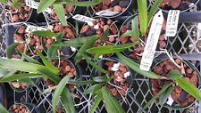 Orchid Blc Todasana near spike exotic tropical plant