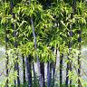 100x Samen Lila Riesenbambus Dendrocalamus Strictus Garten Deko Baum Q0O4