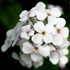 Sweet Rocket - Crown Mix - Hesperis matronalis - 500 seeds - Hardy Biennials