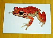 'A BOX OF FROGS' POSTCARD ~ TURQUINO ROBBER FROG - BARBER & SHREVE, 1937 - NEW