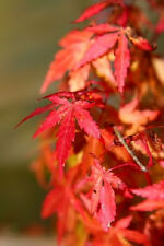 10 JAPANESE MAPLE TREE Acer Palmatum Red Orange Seeds *Comb S/H