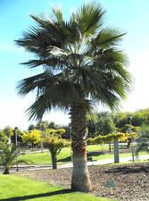 Fan Palm - Washingtonia robusta - fresh fast grow x 12 seeds + bonus!