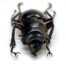 Lucanidae Beetle - Odontolabis Imperalis (m) - Amphidonte - Trus Madi, Sabah