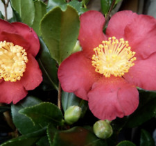 Camellia Yuletide  3 Litre Pot  Red single  Flowers  Budded & Evergreen