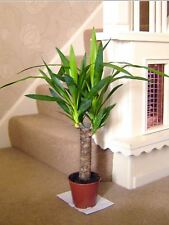 1 SPINELESS YUCCA ELEPHANTIPE EVERGREEN INDOOR HOUSE PLANT IN POT