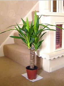 60cm TALL LARGE SPINELESS YUCCA ELEPHANTIPE EVERGREEN INDOOR HOUSE PLANT IN POT