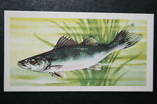 PIKE-PERCH  Freshwater Fish   Illustrated Card   #  VGC / EXC