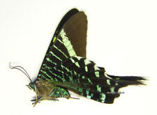 Unmounted Butterfly/Uraniidae - Urania fulgens, Mexico, A-