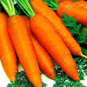 VEGETABLE - CARROT - 3 000 SEEDS - EARLY NANTES 3 - Sweet crispy carrot seeds