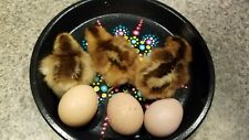 Speckled Sussex Fertilized Hatching Eggs 1 Doz Npipai Clean