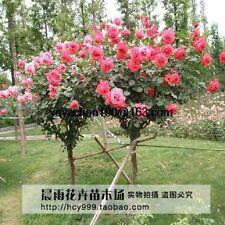 100 Pz RED ROSE Tree ALBERI Semi Seed CASA GIARDINO BALCONE IN VASO BONSAI FIORE