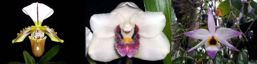 Weeping Orchids