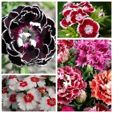 Seeds Rare Carnation Chianti Black Glori Flower Plant Annual Garden Cut Organic