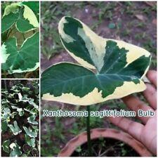 Xanthosoma sagittifolium Bulb Albomarginatum Monstrosum Variegated Plant Fresh