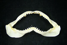 "Shark Jaw 7 to 7 1/2"" Real Taxidermy"
