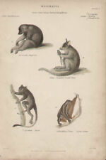 Flying Lemur Tarsier Bengal Lori 1846 Antique Art Print