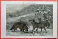 Wolf  Wölfe im Winter  Canis lupus original  Lithographie 1892 Friedrich Specht