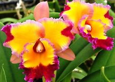 "Rlc. Dick Smith 'Paradise'  Cattleya Orchid Plant Shipped in 2 1/2 "" Pot"