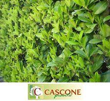 Pianta albero di prunus laurocerasus lauroceraso lauro ceraso in vaso