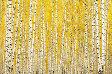 BEAUTIFUL BIRCH TREE FOREST CANVAS PICTURE #3 STUNNING NATURE LANDSCAPE CANVAS