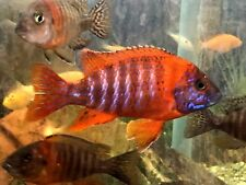 New listing 6 Pack Unsexed 3/4-1� Juvenile Ruby Red Peacock Cichlids!