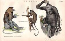 1880 Hand Farbiger Druck ~Primates~ Rüssel Affe Coaita Gorilla