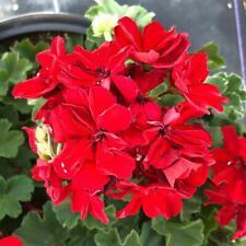 30 Geranium Mojo Dark Red Live Plants Plugs Garden Diy Planters D10002