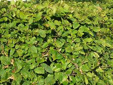 1000 Native Hornbeam Hedging Plants 60-90cm Tree Hedge,3ft,Good For Wet Ground