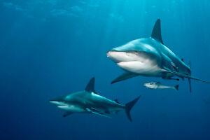 VLIES Fototapete-SCHWARZSPITZEN-HAI-(5110V)-Meer Unterwasserwelt Fische Delfin
